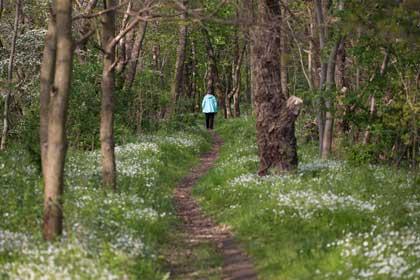 Waldweg mit Person im Frühling mit vielen Blumem