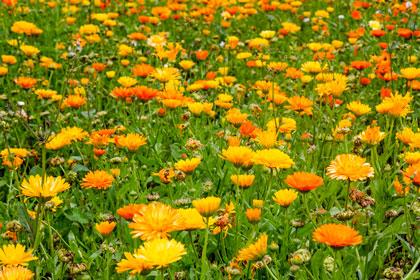 Beet mit orangenen Blumen