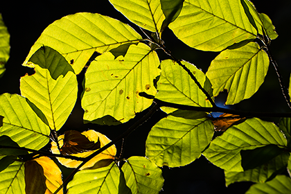 Blätter eines Baumes ganz nah fotografiert